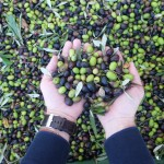 Keeping It In the Family: Pruneti Extra-Virgin Olive Oil In Tuscany