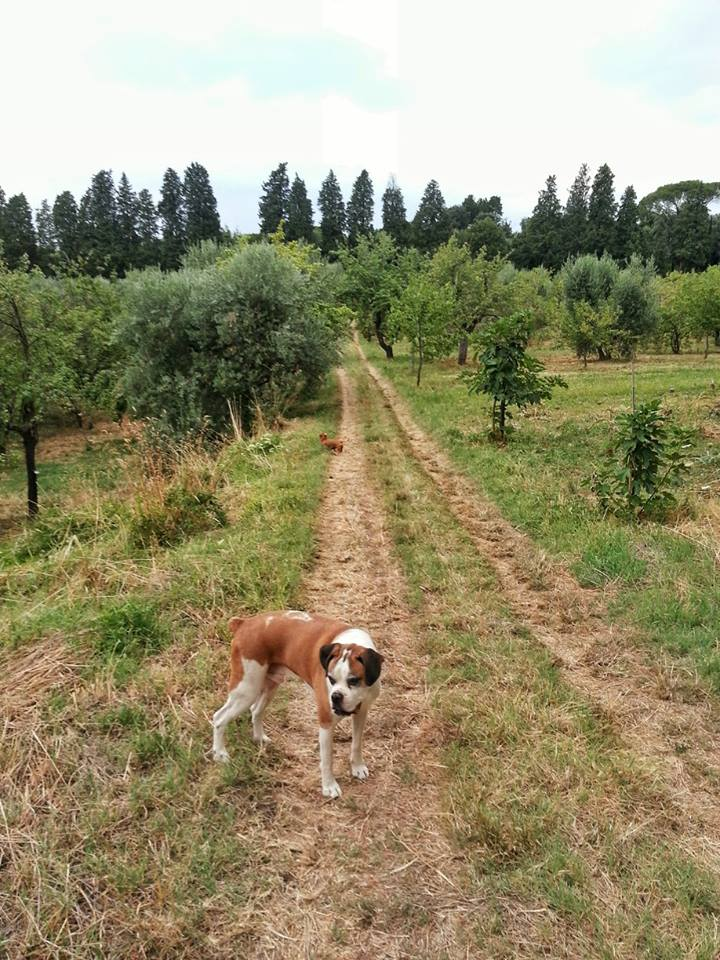 Walking Diego, my house-sitting pup among the bellosguardo gardens